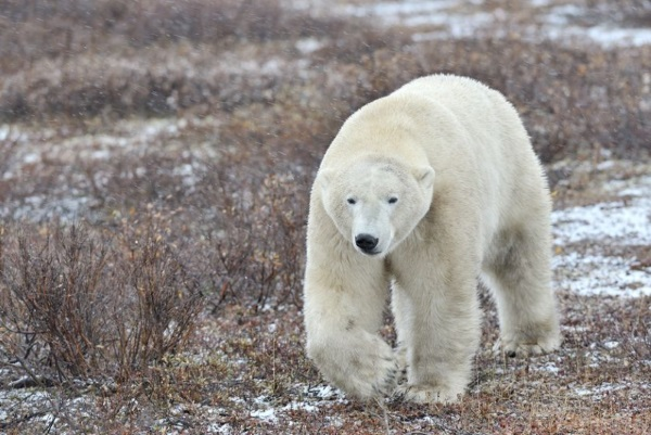 Difference Between Male and Female Polar Bears
