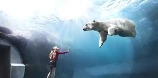 polar bears in captivity