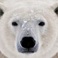 How Can We Save Polar Bears? - Help Save Polar Bears