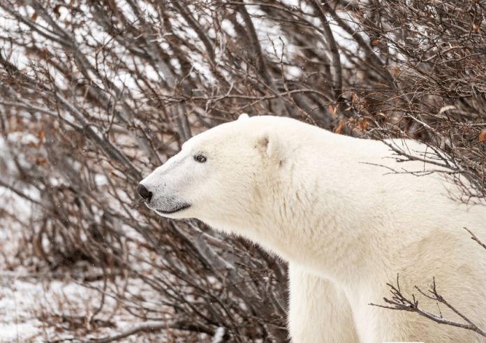 Polar Bear Facts for Preschoolers