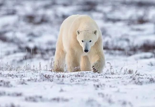 how do polar bears stay warm