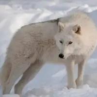 do polar bears eat arctic wolves