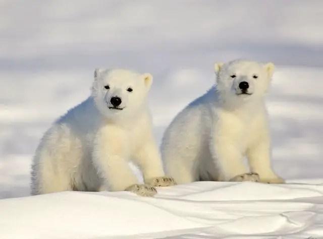 What Does a Baby Polar Bear Look Like? – Baby Polar Bear Description