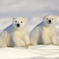 What Does a Baby Polar Bear Look Like? - Baby Polar Bear Description