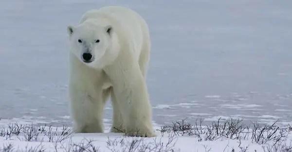 Male Polar Bear | Weight, Size, Behavior of a Male Polar Bear