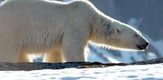 polar bear taxonomy