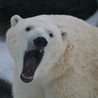 Polar Bear Teeth - Do Polar Bears have Sharp Teeth?