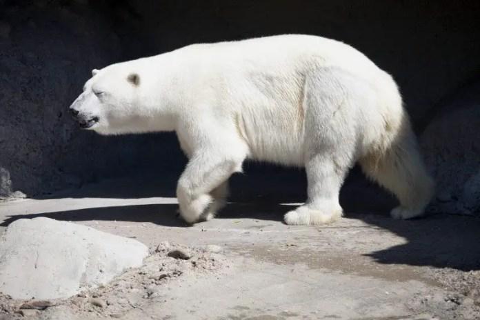 how do polar bears move