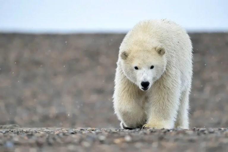 How Much Does a Polar Bear Weigh? – Polar Bear Weight