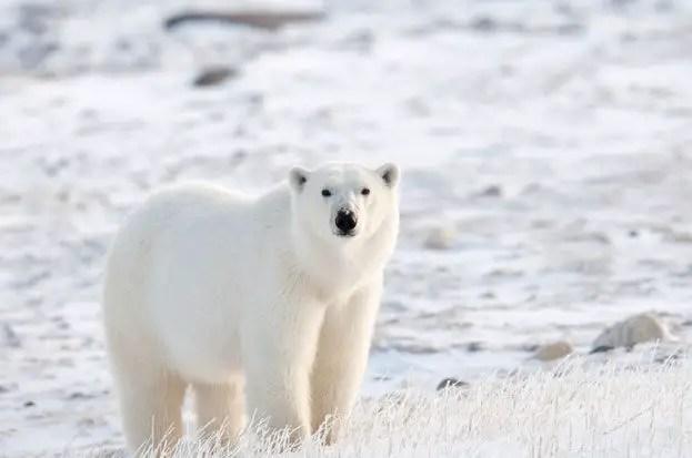Why are Polar Bears Going Extinct? – Polar Bear Extinction