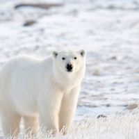 Why are Polar Bears Going Extinct? - Polar Bear Extinction