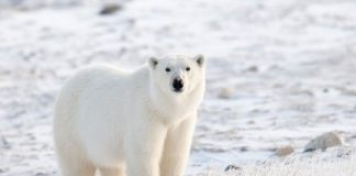 why are polar bears going extinct