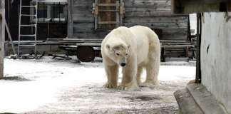 do polar bears migrate