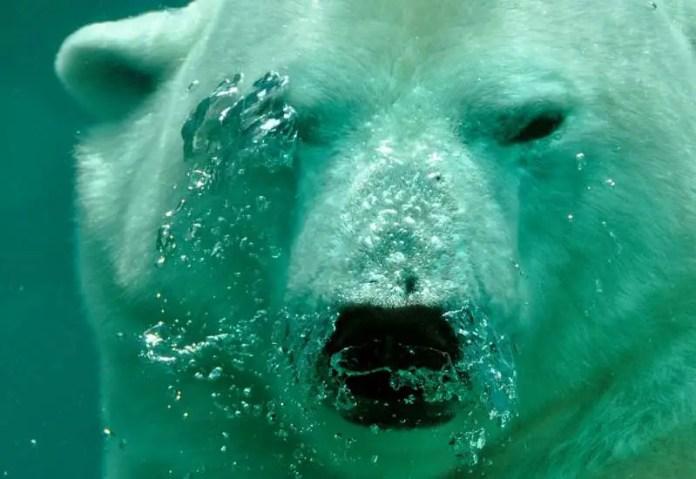 polar bear organs