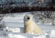 what eats polar bears