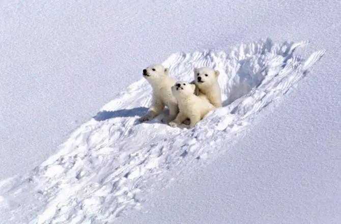 polar bear den facts
