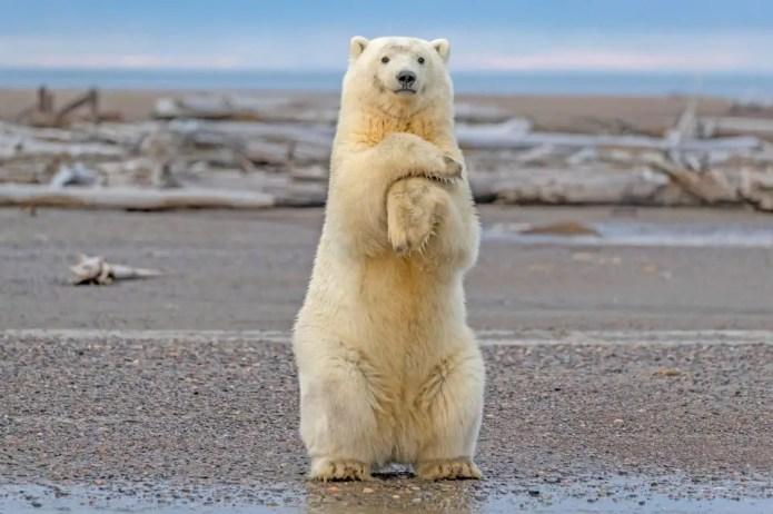 How Tall is a Polar Bear Standing Up?