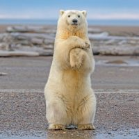 How Tall is a Polar Bear Standing Up?