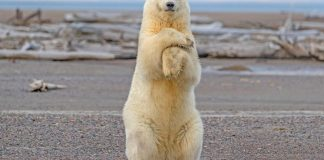 how tall is a polar bear standing up