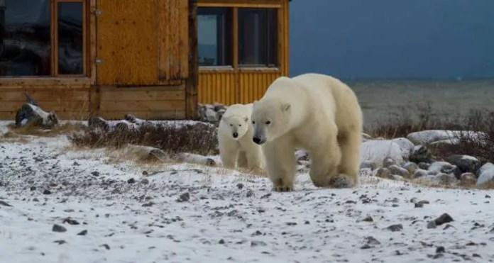 how far can a polar bear see?