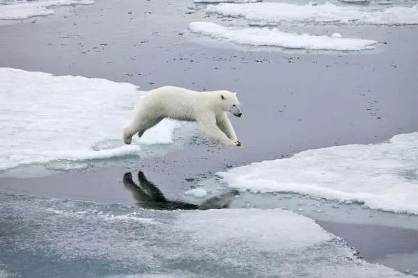 Is a Polar Bear a Mammal? – Are Polar Bears Mammals?