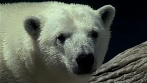 Polar Bear Scientific Name   Scientific Classification