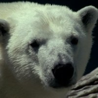 Polar Bear Scientific Name | Scientific Classification