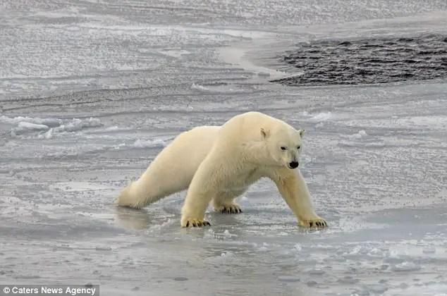 How Heavy is a Polar Bear?