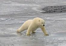 how heavy is a polar bear