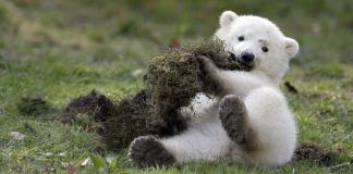 what do you call a baby polar bear