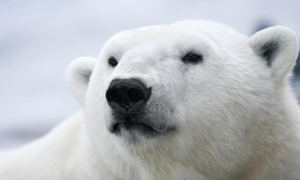 why do polar bears have small ears?