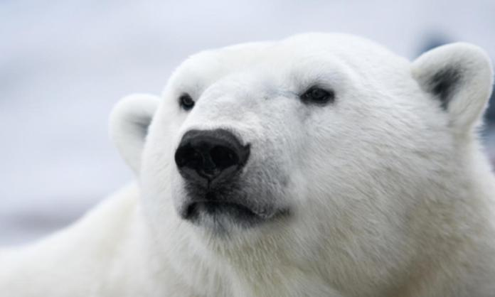 why do polar bears have small ears?