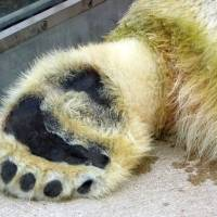 Why Do Polar Bears have Large Feet?