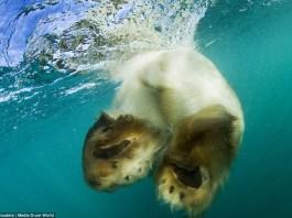 do polar bears have webbed feet