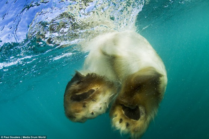 do polar bears have webbed feet