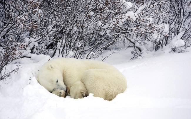 How long do polar bears hibernate?