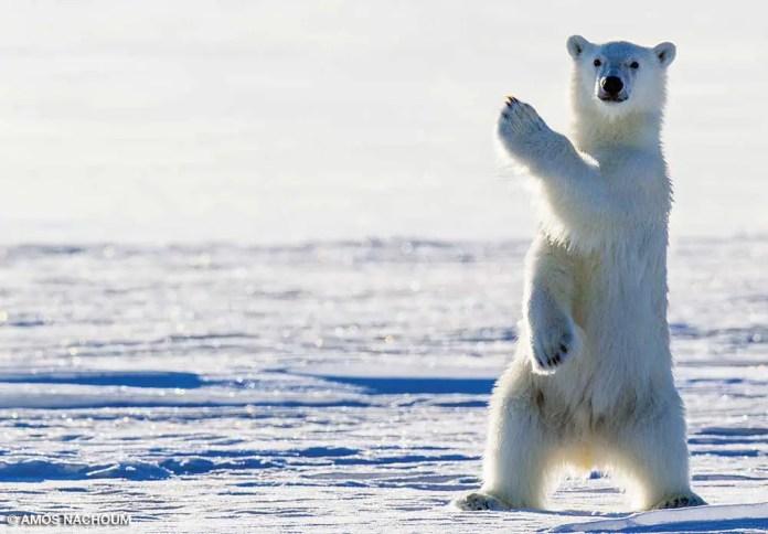 Do Polar Bears Cover their Nose?