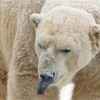 Polar Bear Tongue - Polar Bear Tongue Color