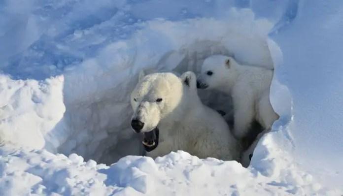 How Many Babies Can a Polar Bear Have? – Polar Bear Litter Size