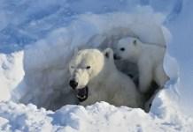 how many babies can a polar bear have?