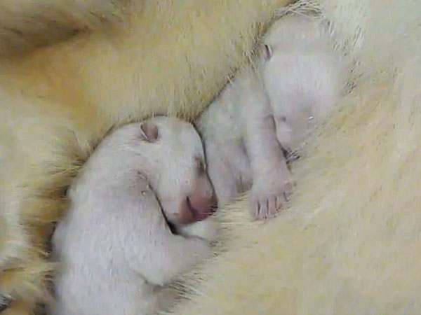 polar bear cubs facts