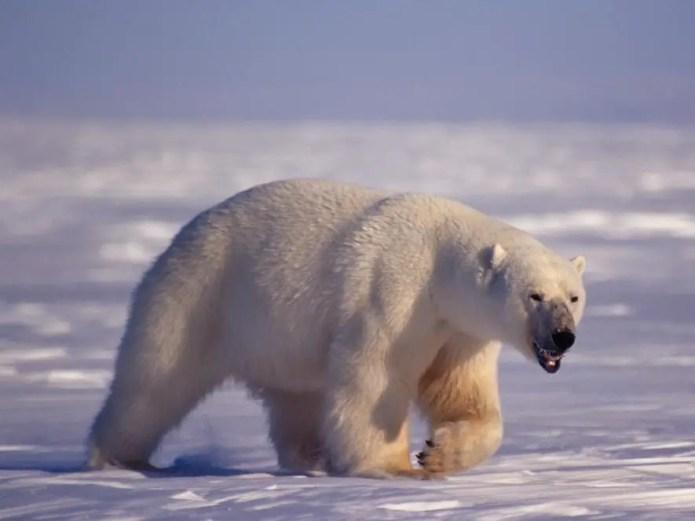 Polar Bear Penis – Polar Bear Genitalia and Testes Growth