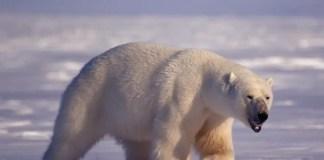 polar bear penis