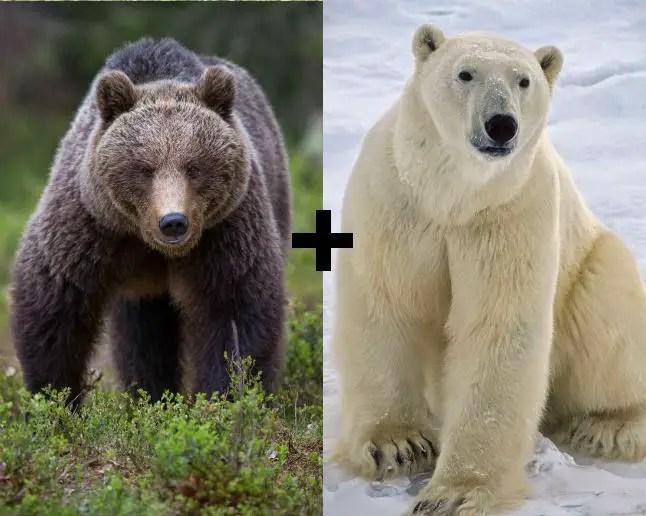 Is a Polar Bear Bigger than a Grizzly Bear? – Polar Bear Grizzly Bear