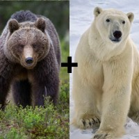 Is a Polar Bear Bigger than a Grizzly Bear? - Polar Bear Grizzly Bear