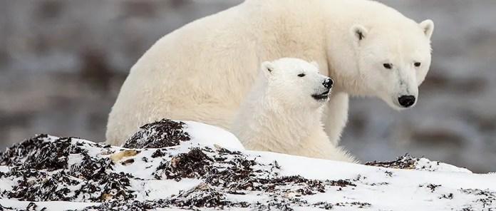 How often Do Polar Bears have Cubs? – Polar Bear Giving Birth