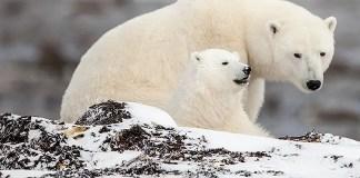how often do polar bears have cubs