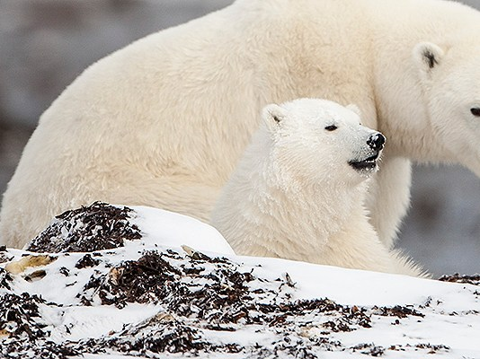 how often do polar bears have cubs