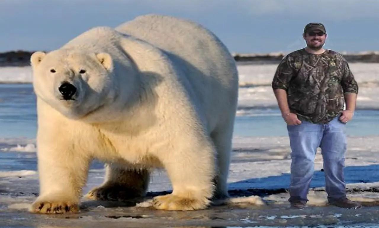 largest polar bear on