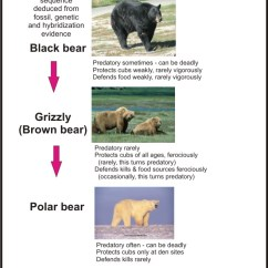 Brown Bear Diagram 2016 Toyota Tundra Trailer Wiring Polar Attacks On Humans – An Evolutionary Perspective | Polarbearscience